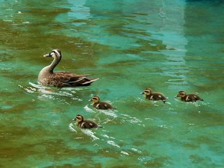 調布・京王閣競輪場(調布市多摩川4)内の人工池で泳ぐカルガモ親子