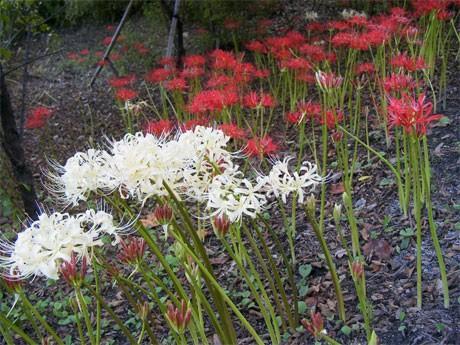 赤い彼岸花に交じって咲いた白い彼岸花。正式には「シロバナマンジュシャゲ(白花曼珠沙華)」という。