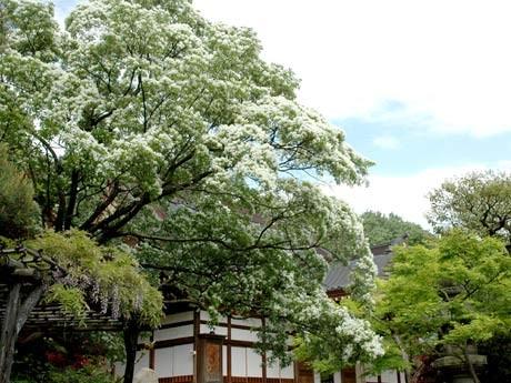 調布の深大寺境内に咲く「なんじゃもんじゃの木」