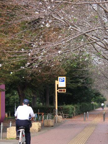 味の素スタジアム西側の通りで季節外れの桜が開花