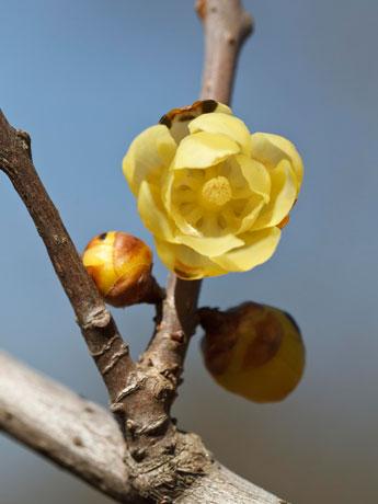 調布の欧風庭園で春を告げる花ロウバイが開花。甘い香りを漂わせている