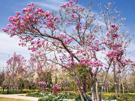 調布のアンジェが開園10周年で無料開放。写真は色とりどりの花を咲かせる、同園のマグノリア