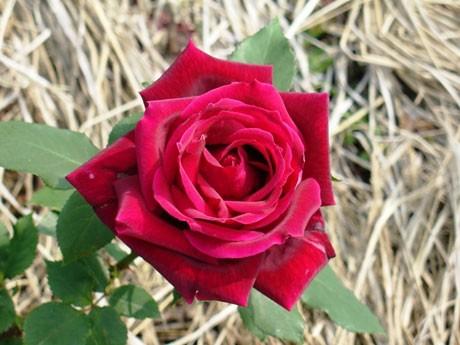 調布の都立神代植物公園で「秋バラ」を楽しむイベント。写真は、2009年度日本バラコンクール(JRC)金賞を受賞した、同園作出の新品種バラ「クィーン・オブ・神代」
