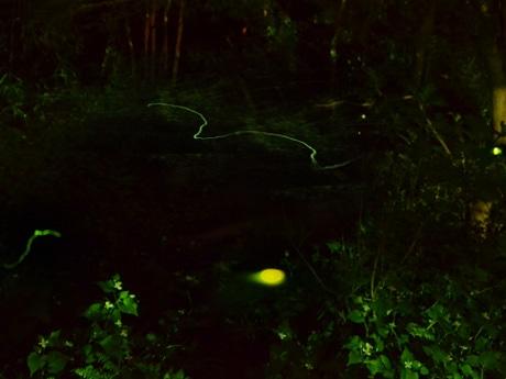 深大寺の湧水水源池あたりで観賞できる、自然繁殖したゲンジボタル