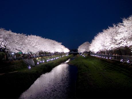 「野川桜ライトアップ」過去の様子