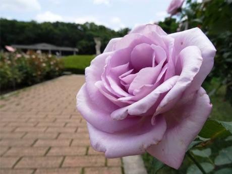 「ブルー・ムーン」の二番花