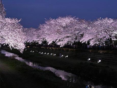 野川桜ライトアップ(平成27年度開催の様子)