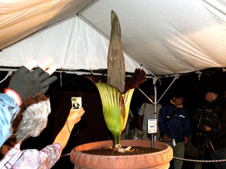 珍しい花を撮影しようとカメラを向けたり、悪臭を近くで嗅ぐ観客たち。