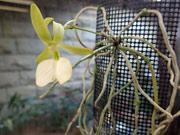 調布・神代植物公園で葉のないラン「無葉蘭」初開花 栽培開始4年目で