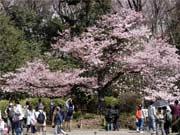 調布・神代植物公園で「椿・さくらまつり」 クイズラリーで記念品も
