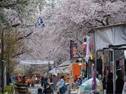 狛江・多摩川住宅周辺で桜まつり 桜並木ライトアップも