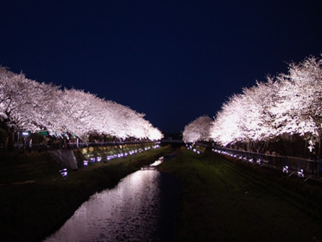 野川沿い両岸の約850メートル区間の桜をライトアップする様子