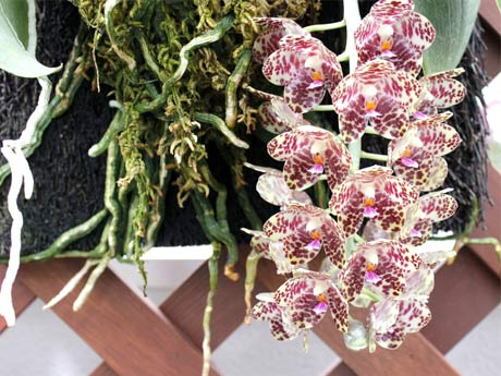 世界最大級の葉を持つコチョウラン「ファレノプシス・ギガンテア(学名Phalaenopsis Gigantea)」