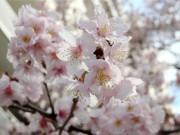 調布で「ハリウッドの大寒桜」が見頃に 満開まであと少し