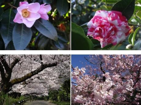 調布・神代植物公園で「椿・さくらまつり」 新発売の「桜のシューアイス」も