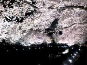 調布「野川桜ライトアップ」開催日決定 数万人が訪れる一夜限りの幻想風景