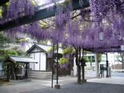 調布・國領神社で「千年乃藤まつり」 樹齢約500年の藤の神木は朱印帳にも