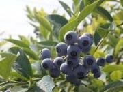 調布でブルーベリー摘み オーガニック栽培、大粒求め一日200人来園も