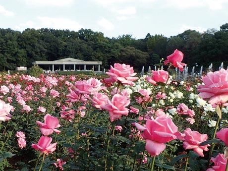 都立神代植物公園のバラフェスタの様子