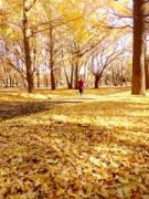 調布市内に黄金色のイチョウのじゅうたん 晩秋の紅葉終わり告げる