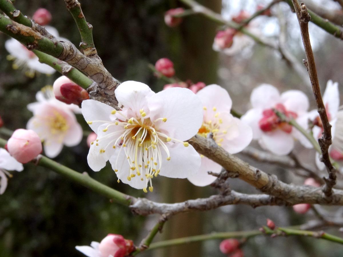淡い桃色の花弁で一重咲きの「雲の曙」(過去の様子)