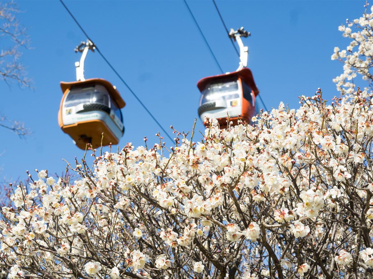 寒紅梅や白加賀、紅千鳥など約200本の梅が見頃を迎える「よみうりランド」