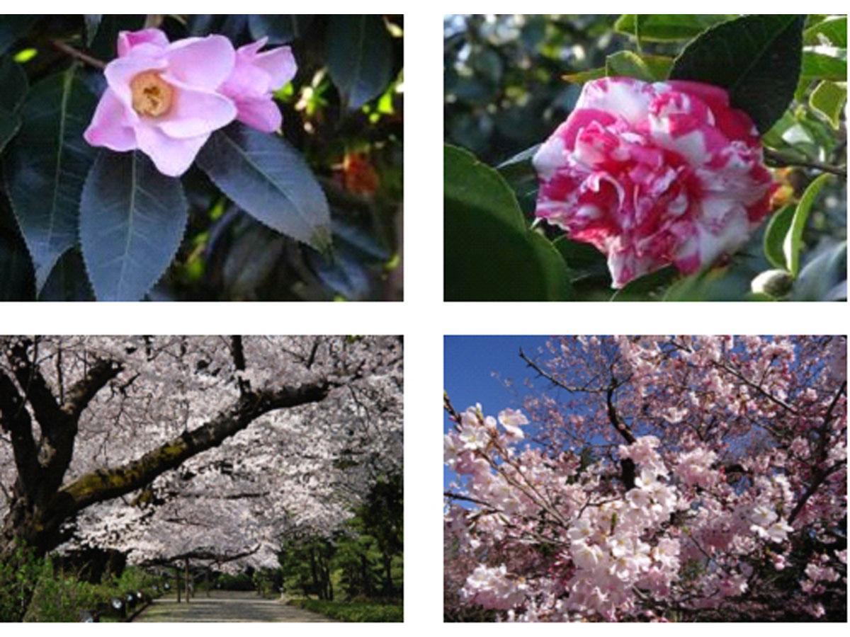 神代植物公園のツバキとサクラの開花(昨年の様子)
