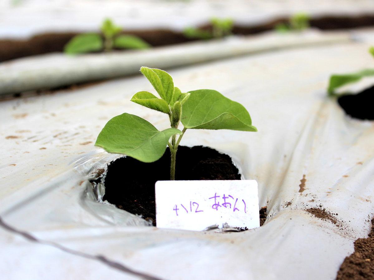 「伊藤農園」の植え付け体験直後の枝豆の苗