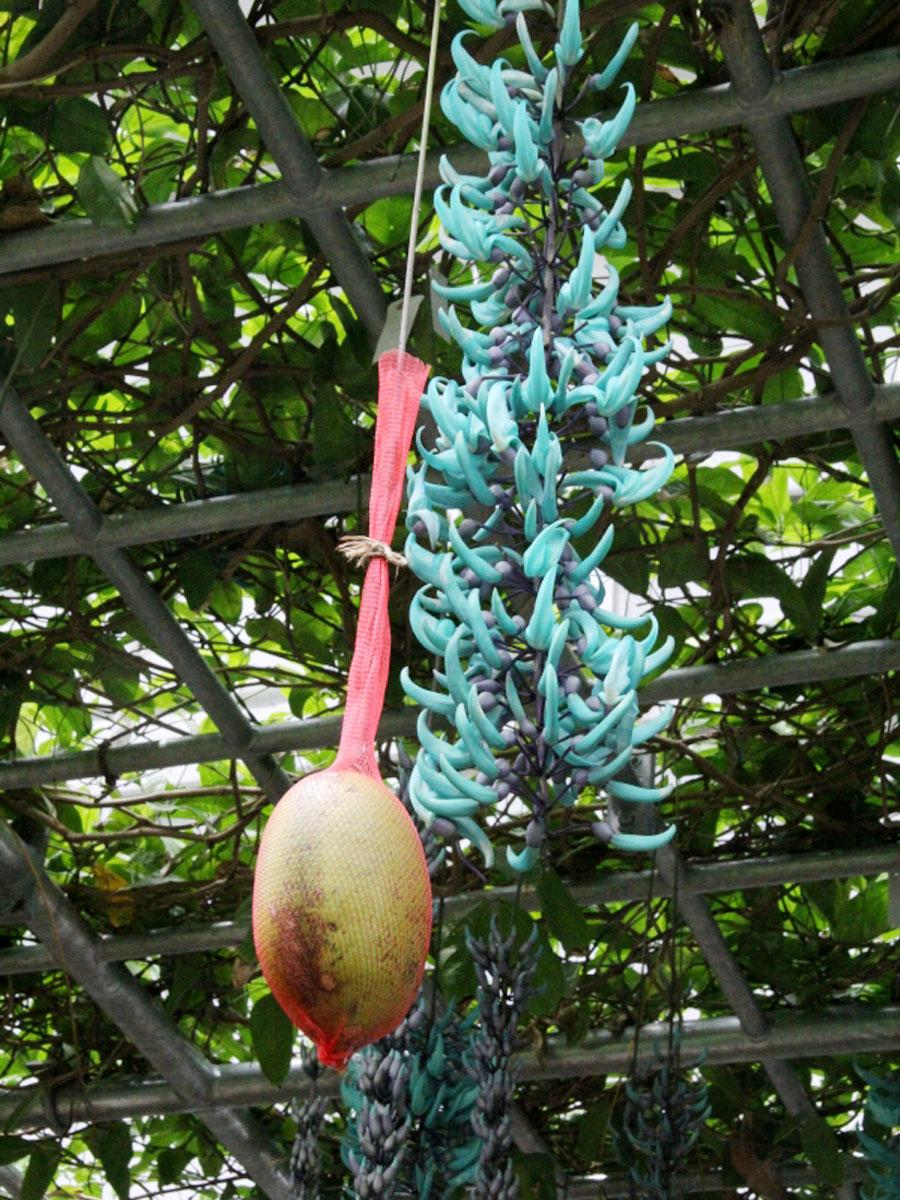 人工授粉で結実した神代植物公園初のヒスイカズラの実。落下防止のため赤いネットで保護している。