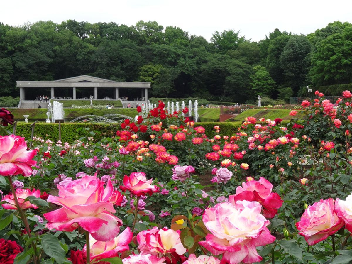 神代植物公園「ばら園」の様子