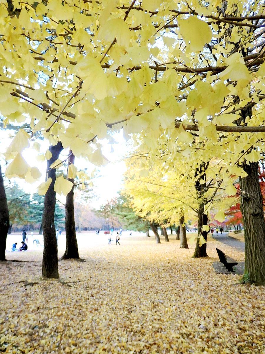 黄色に輝くイチョウのトンネル、野川公園の風景