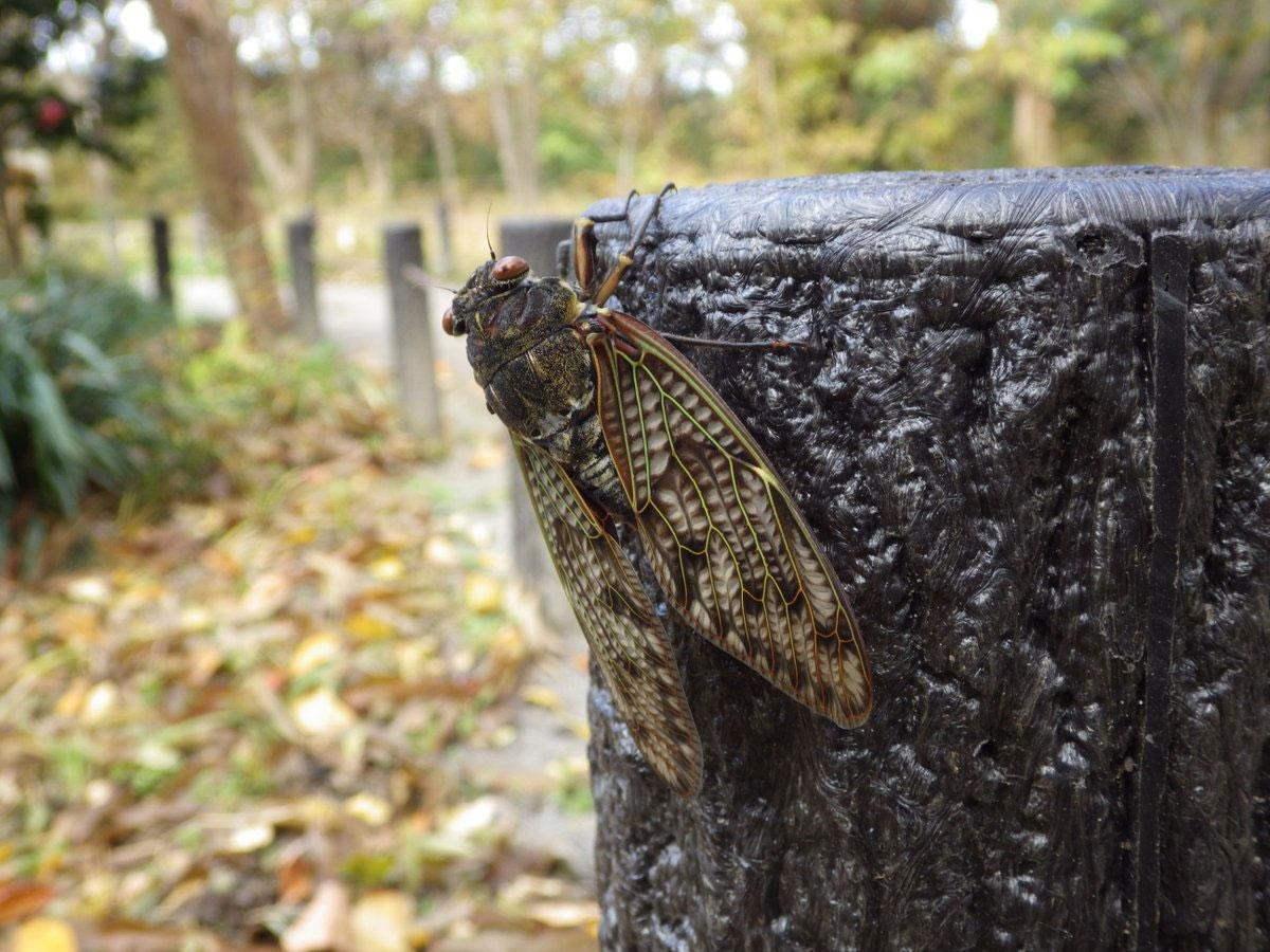 都立神代植物公園「植物多様性センター」でスタッフが見つけたアブラゼミ