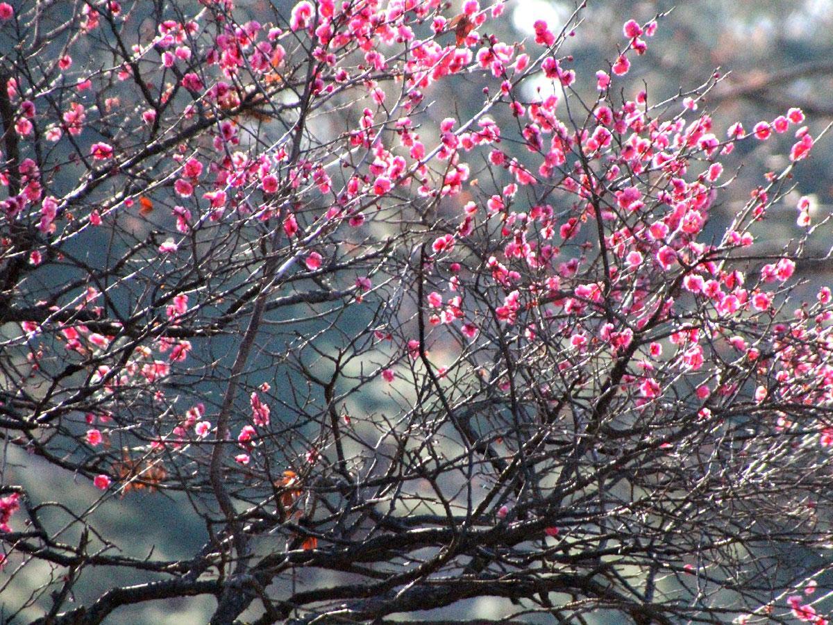 都立神代植物公園「うめ園」の「八重寒紅」