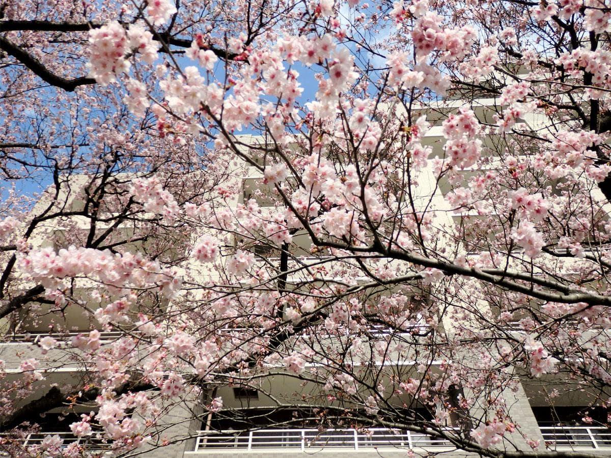 満開を迎えた「ハリウッド大寒桜」、下から見上げた様子
