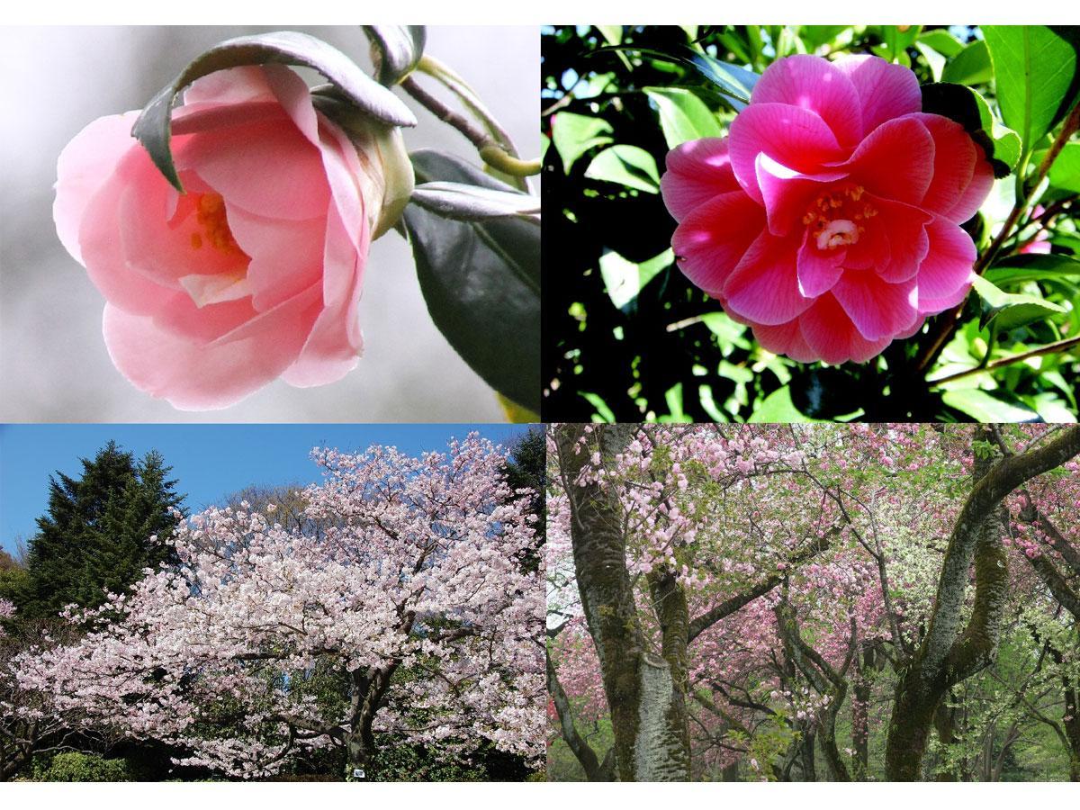神代植物公園で見いだされた品種のツバキ「神代都鳥(ジンダイミヤコドリ)」(左上 )江戸時代からある品種のツバキ「菱唐糸(ひしからいと)」は4月が見頃(右上) 神代植物公園で見いだされた品種のサクラ「神代曙(ジンダイアケボノ)」(左下) 濃いピンク色や白っぽい色などさまざまな品種の桜が神代植物公園各所で咲く(右下)