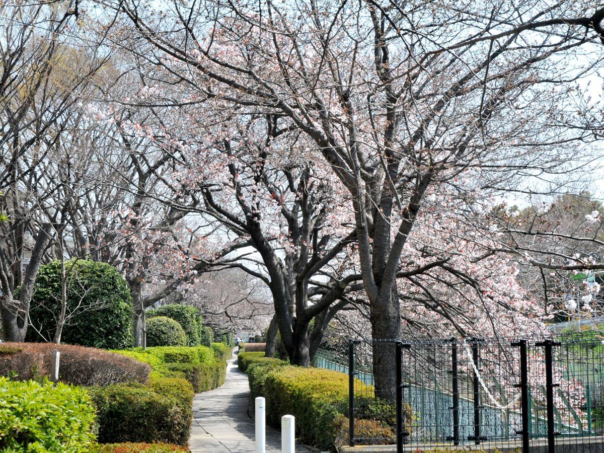 桜堤通りの桜の様子(2019年3月28日撮影)