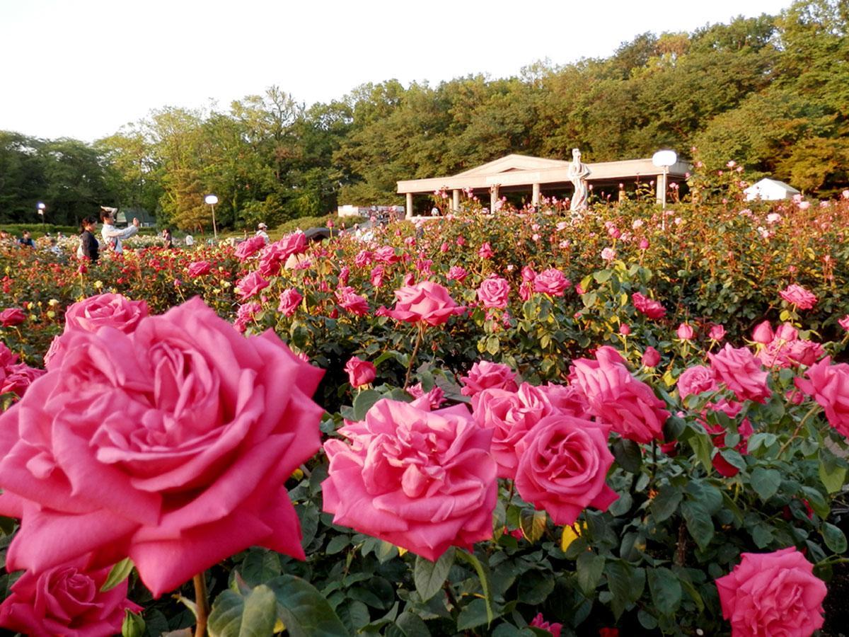 「早朝開園」では、もっとも芳しい朝にバラの香りを楽しめる