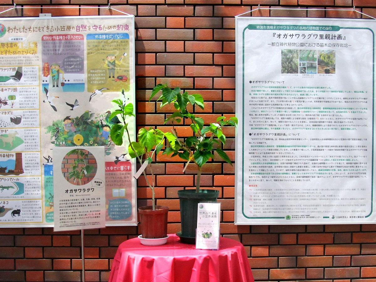 神代植物公園の大温室で展示中のオガサワラグワ