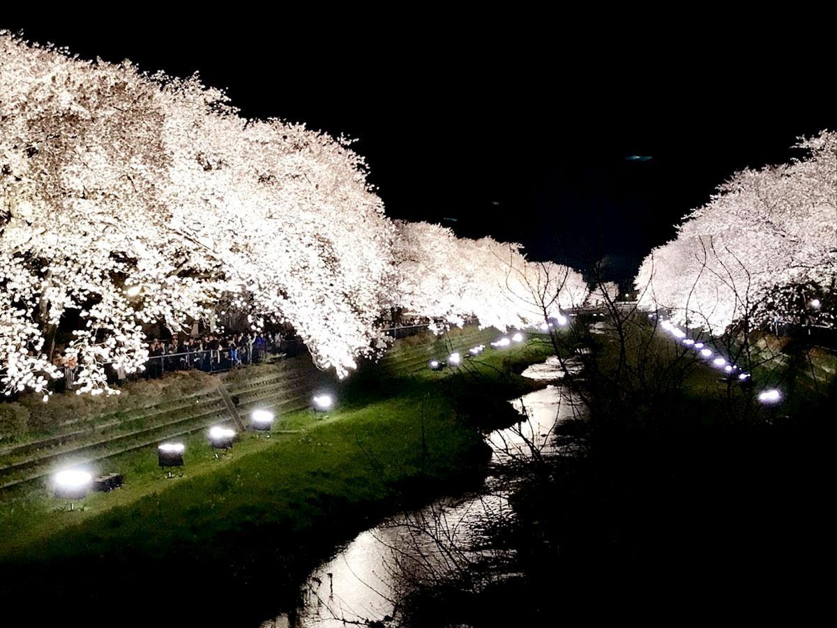 野川桜ライトアップの昨年の様子