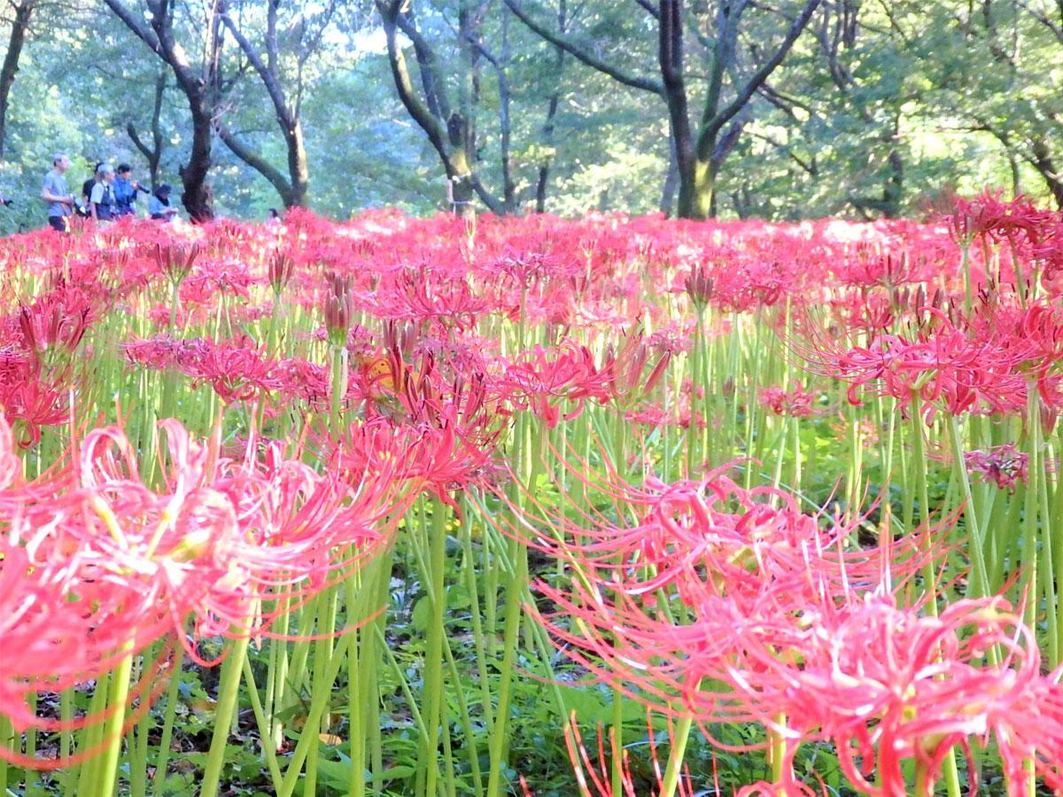 見頃を迎えた野川公園の彼岸花、カメラマンの姿も