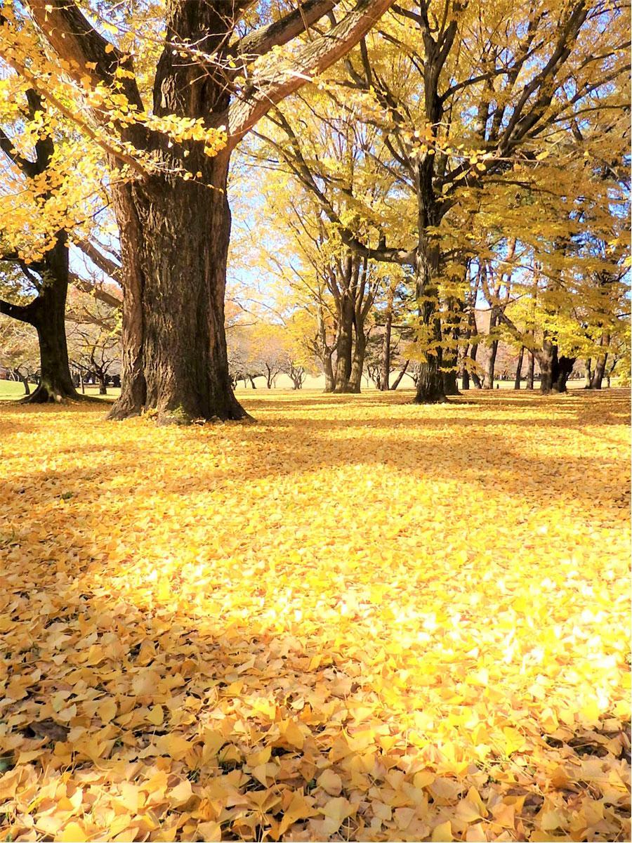 調布にようやく紅葉シーズン 絵画のような黄葉のじゅうたんも