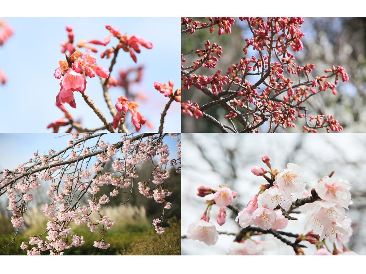 神代植物公園で咲き始めたカンヒザクラ(上段)と大寒桜(下段)