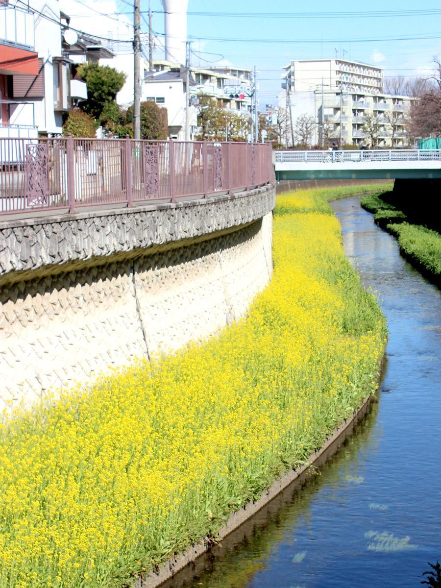 仙川の弁天橋を望む菜の花景色