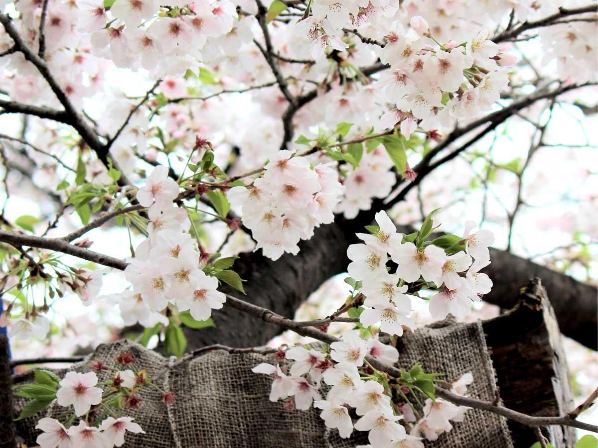 樹勢回復の兆しが見られる仙川駅前の老木に咲いたサクラの花