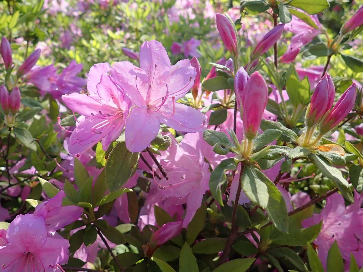 桜色が美しいリュウキュウツツジの「桜衣(さくらころも)」。六義園(東京都文京区)に1株だけ残っていた品種で、正式名が分からなくなっていたため仮に付けられた名称。