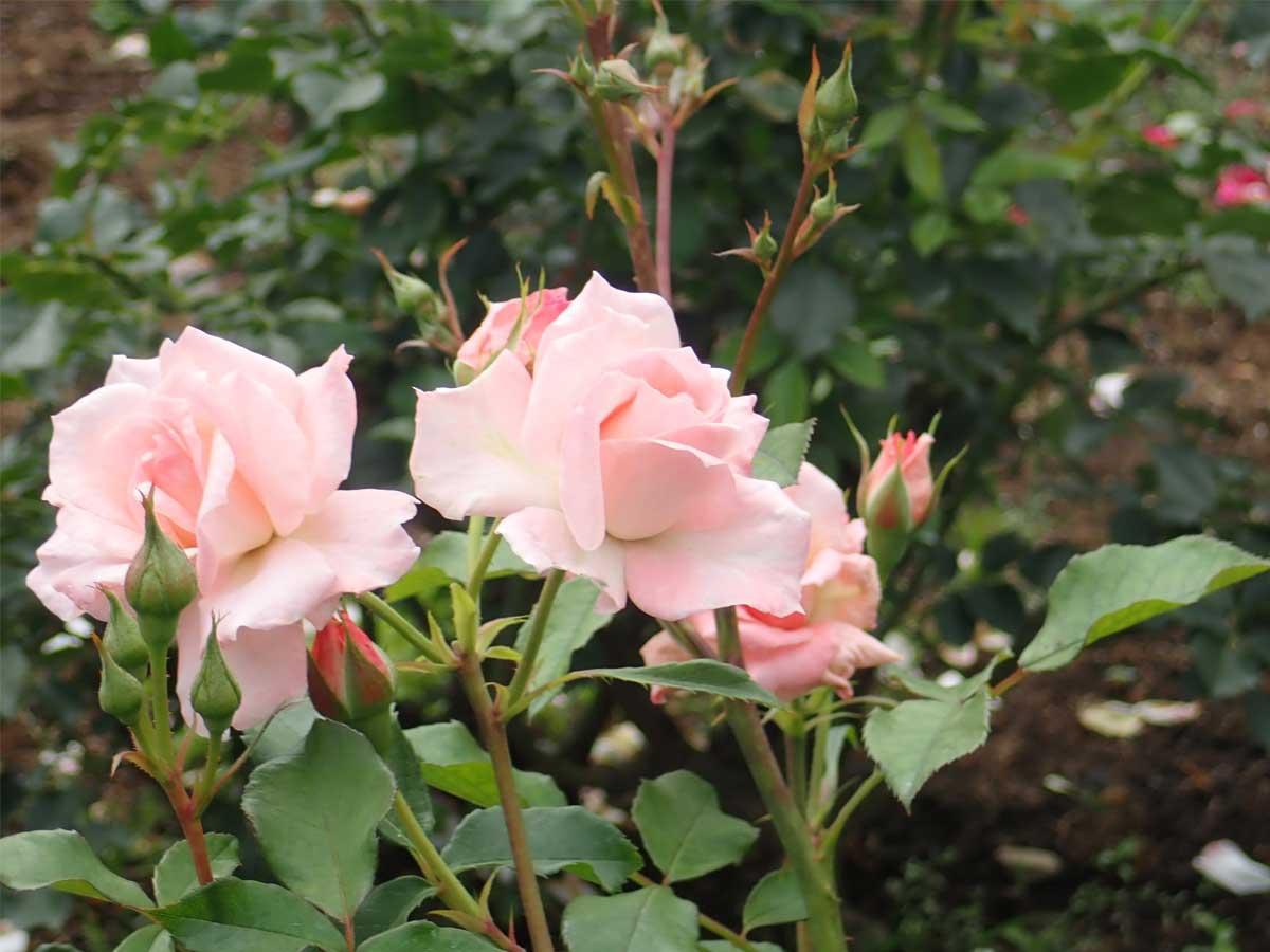 「ばら園」が作られるきっかけになった、ロサンゼルスから送られた日米親善バラのひとつ「リリペット」。つぼみが多くあり、これからゆっくり楽しめる