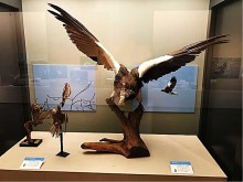 府中市郷土の森博物館で特別展「府中の野鳥図鑑」 迫力のオオワシ剥製も