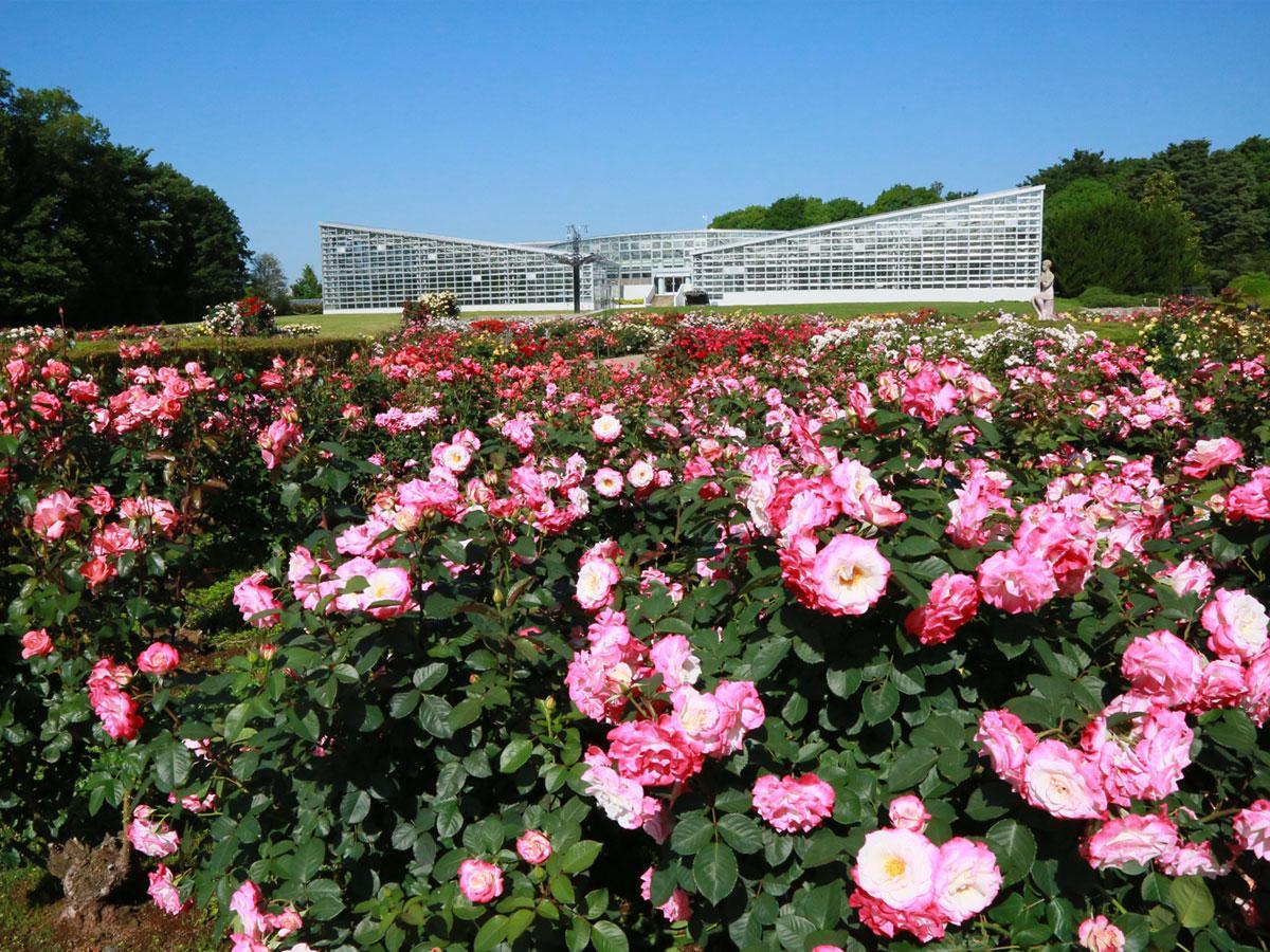 朝の香り高いバラを楽しめる週末の「早朝開園」。奥の建物は大温室