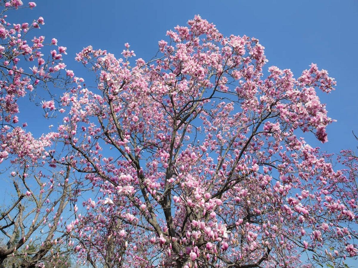 3月中旬から5月上旬にかけて白色系・ピンク色系・黄色系の順に開花するマグノリア