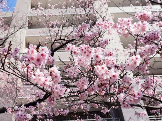 調布・樹齢60年の「ハリウッドの大寒桜」が見頃に 春の便り一足早く